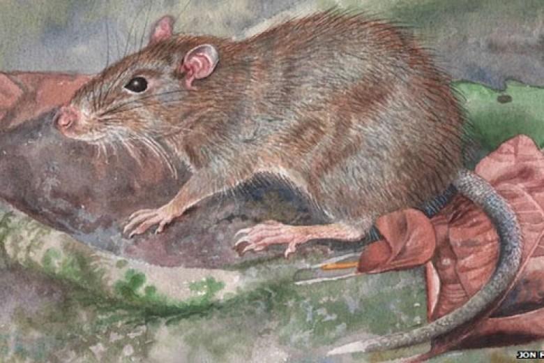 Ditemukan Spesies Tikus Baru di Maluku