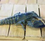 Lobster Hewan Berdarah 'Ningrat'