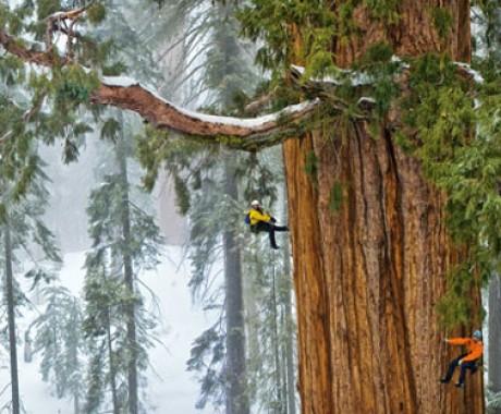 Pohon Presiden Terbesar Sedunia