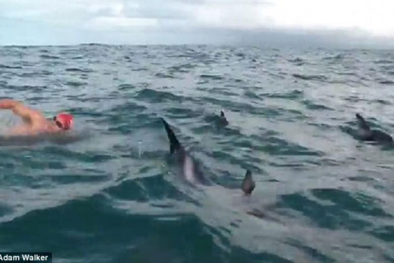 Lumba-Lumba Lindungi Perenang Ini dari Hiu