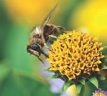 Kerja Keras Lebah Demi Madu