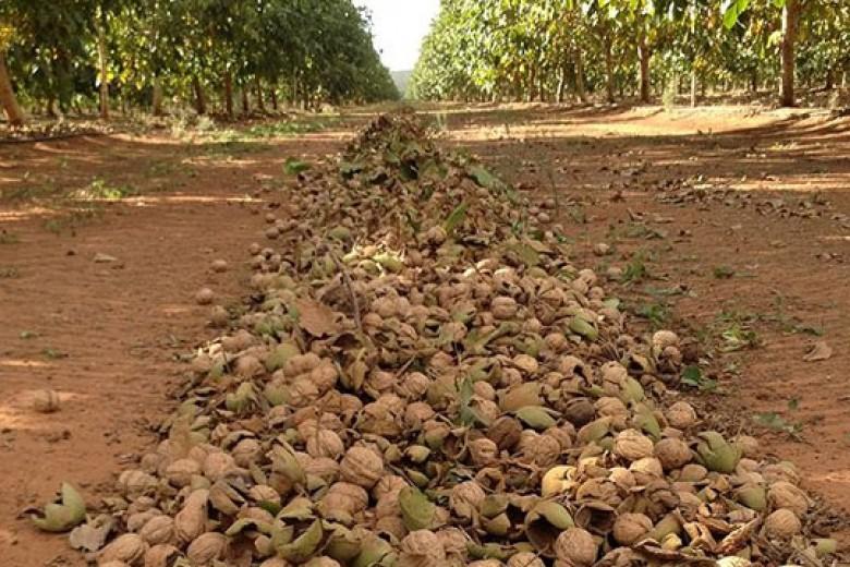 Pesatnya Bisnis Kacang Walnut di Australia