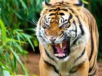 Benarkah Macan Punah 10 Tahun Lagi?