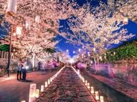 Jangan Lewatkan Festival Bunga Sakura di Jepang
