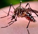 Nyamuk Aedes Aegypti Kebal Cuaca