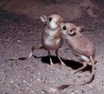 Wow, Tikus Kangguru Irit Air