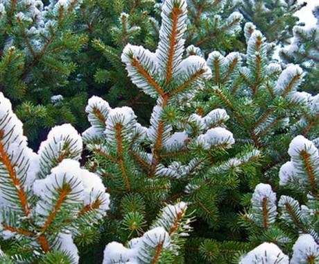 Mengapa Cemara Jadi Pohon Natal?