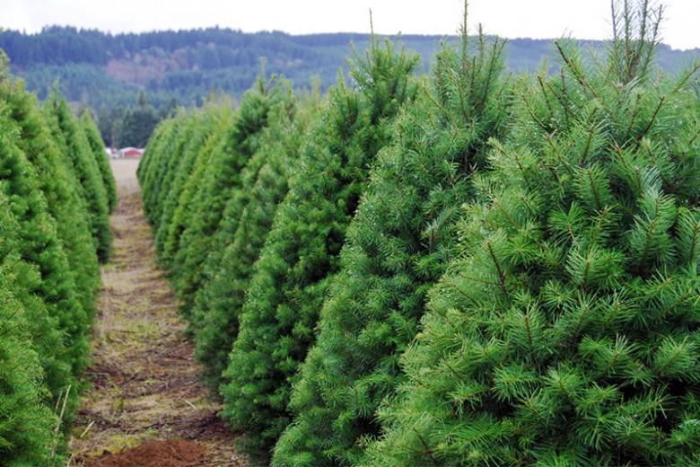 Waspada Serangga Pohon Natal