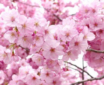 Menikmati Bunga Sakura Selain di Jepang