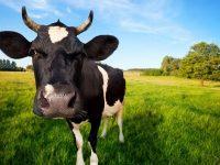 Manfaat dan Kebaikan Susu Sapi A2